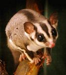 tn_sugarglider